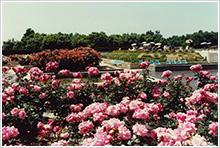 昭和55年5月 バラ園