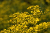 Perennial plant with yellow flowers of the family Valerianaceae Patrinia scabiosaefolia (myriad green leaves plant)