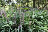Liriope graminifolia