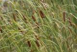 Typha angustata